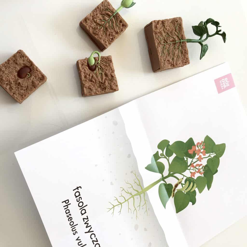 Karty Montessori cykl rozwojowy fasoli
